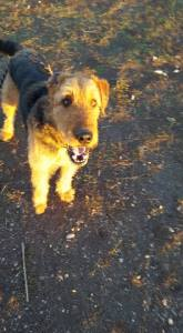 ADOPTED! Fitz....What to say about Fitz? Oh my what a beautiful boy! He is still quite young and has LOTS of energy. 2 years old. He will need to go to a home where they will understand the breed and realize he needs lots of exercise and structure. Fitz is an 80 pound Airedale and is loves to play, run and be a BIG puppy. 200.00 adoption fee. Fenced yard only, Home check required.