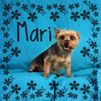 Mari was rescued from a breeder two years ago, but her adopters are unfortunately currently facing serious family medical issues. This leaves them unable to give this 6 year-old cutie the love and attention she deserves and so they asked us to help Mari find a soft place to land. We can tell they loved Mari very much (perhaps a little too much!), and she will benefit from some exercise and a healthy diet. Come meet this adorable little Yorkie girl soon, because she is ready to go home! Mari is spayed, current on all her vaccinations and microchipped. Adoption fee: 150.00