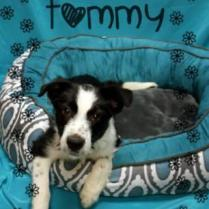 Tommy a sweet little 3 month old border collie. Great on his house training and loves kids! needs someone to work with him, play with him and make sure he gets exercise .....He will be the best dog ever. 175.00 fee, vaccinated, microchipped and neutered