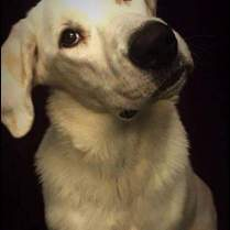 ADOPTED! Nu Nu - Lab/Great Pyrenees mix
