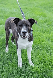 Brin is a catahoula leopard mix, and he is about 1 year old and loves, loves, LOVES to play! Give him a rope toy for tug of war or a ball to chase and he is a happy camper. He enjoys playing with dogs of all sizes and he is good with kids, too. Because he is so young, we recommend that any play with kids be supervised in case he gets too enthusiastic and needs a quick time out. Brin hasn't been around cats, but his foster has noticed that he seems VERY interested in rabbits. We think Brin would be best in an active home without cats, rabbits, chickens, or other small animals. Once he's worked off his energy, Brin loves to snuggle with his people. Brin is still working on his housetraining and will need to have someone willing to make sure he gets frequent potty breaks. His 175 adoption fee includes all vaccinations, microchip, and neuter.