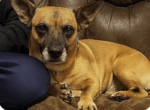 """The ears say, """"Corgi"""", the short legs say, """"Beagle"""", the coloring says, """"Shepherd"""". Whatever his DNA, it all adds up to """"Delightful"""" because Tyke is a joy to have around. In his foster home, Tyke has lavished loving attention on his people, gotten along great with the other dogs, taken a genuine interest in the general doings of the household, is always ready for a game or a romp, and has shown himself to be pretty much the perfect family dog. In spite of the distinguished shading of his muzzle, Tyke is only about 7 years old and – in the general way of smaller dogs – has many years of fun and love left to offer the right person. Tyke is ready to start the next exciting phase of his life and he is hoping someone falls in love soon with his quirky body and wonderful personality. His adoption fee of $150 includes all his vaccines, a full vetting, and his microchip."""