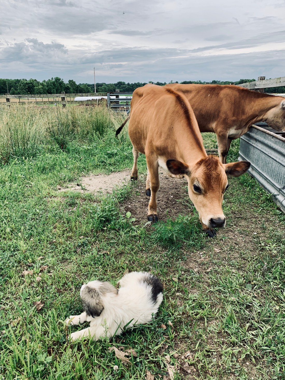 cows and dogs