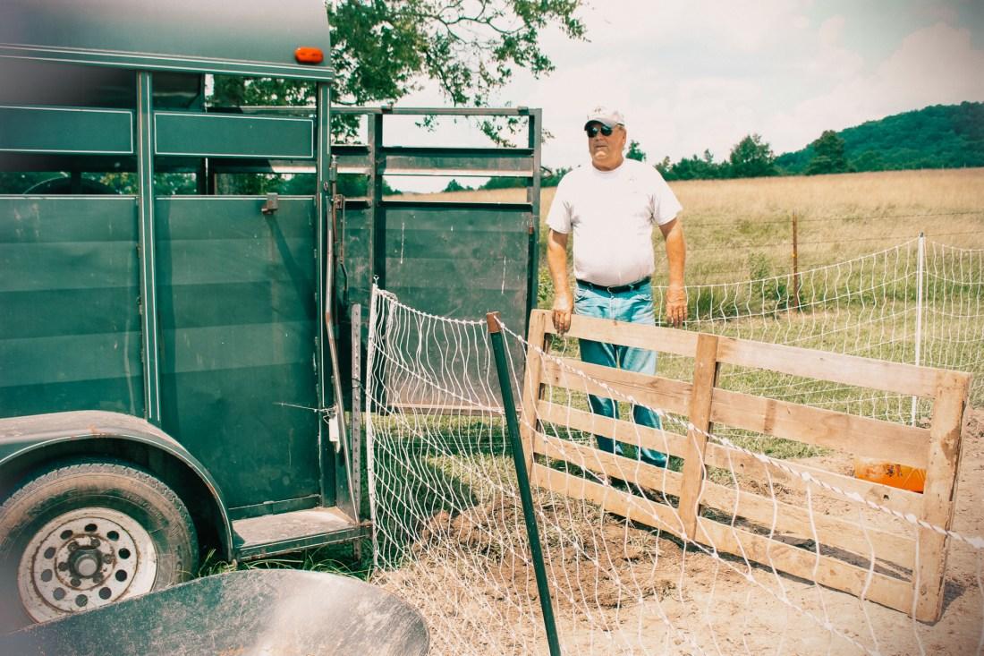 hauling pigs