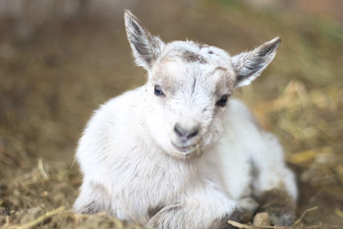 gray baby goat