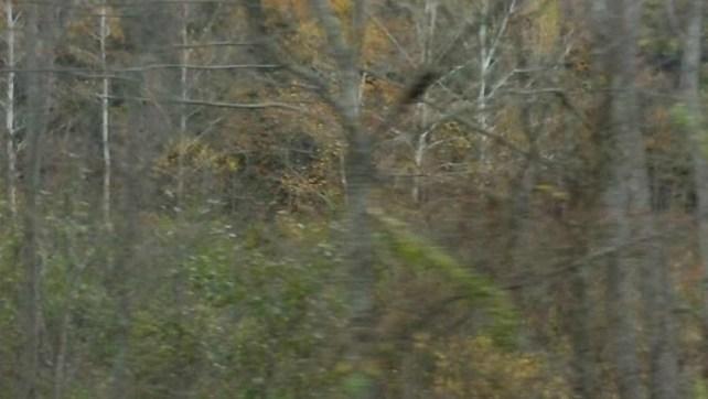Predator In Trees