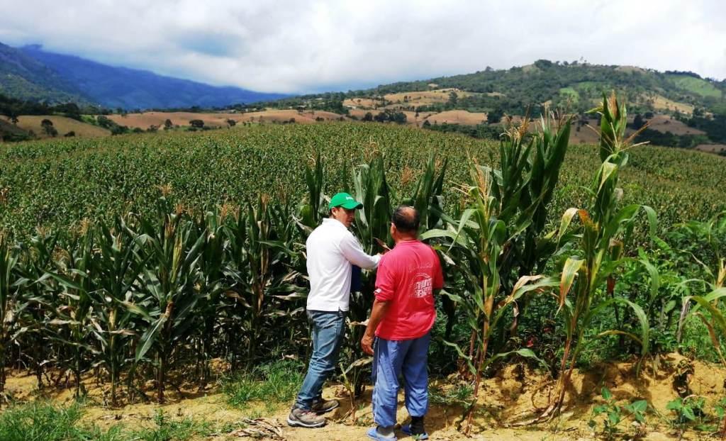 Quienes siembra maíz son lo que más anhelan las precipitaciones.
