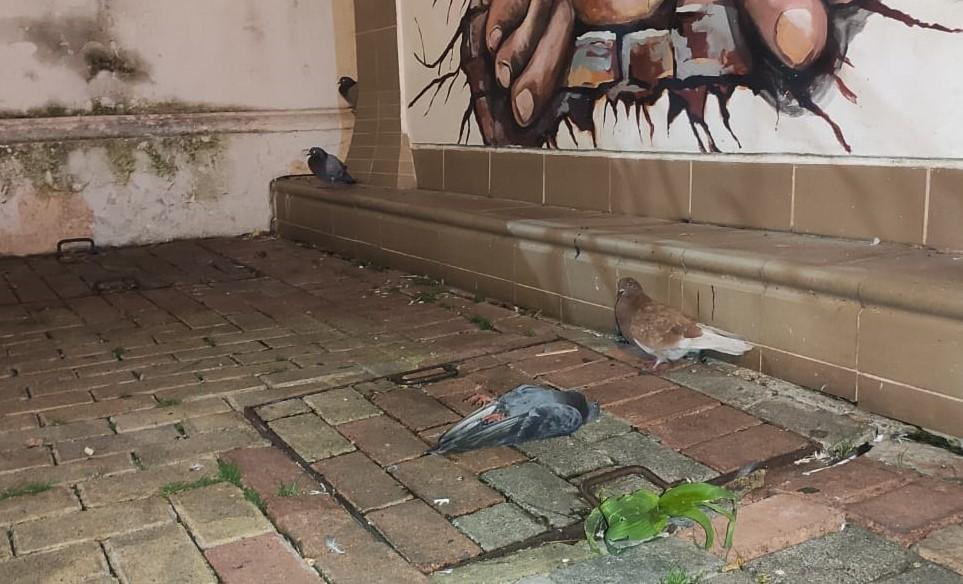 En el parque de Santo Domingo hay una gran cantidad de palomas.