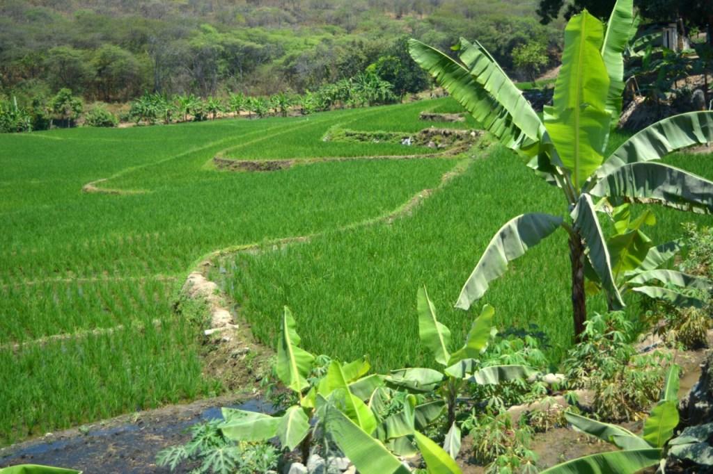 Son típicos los sembríos de arroz en Macará, en el límite de frontera con el Perú.