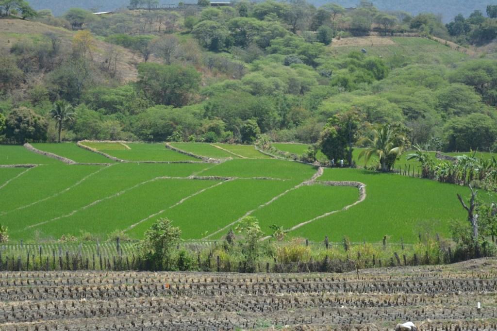 Macará y Zapotillo producen, según manifiesta el alcalde Alfredo Suquilanda, alrededor de 800 mil quintales de arroz.
