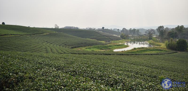 viajar a tailandia ver Campos de te