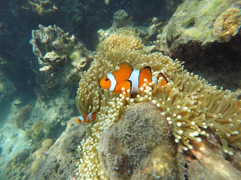 Nemos peces filipinas