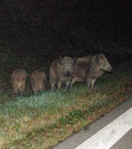Wildschweine Autobahn