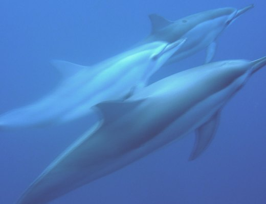 Dauphin qui nage