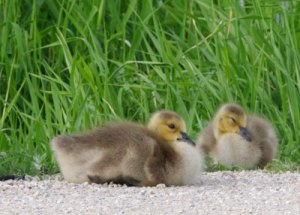 Goslings at the Horicon Marsh