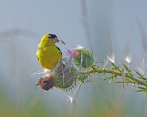 Goldfinch at the Horicon Marsh