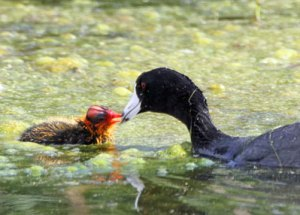 American Coot with Chick at the Horicon Marsh