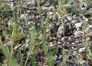 Killdeer Eggs at the Horicon Marsh