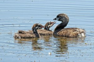 Pied-billed Grebes at the Horicon Marsh