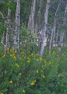 Woodland Sunflowers at the Horicon Marsh
