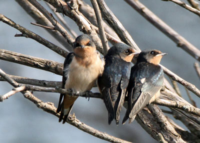 Barn Swallows at the Horicon Marsh