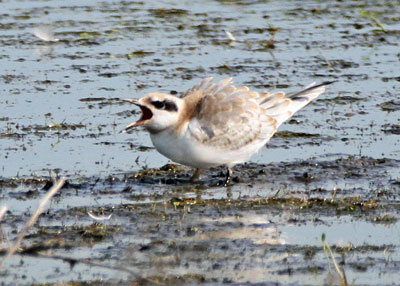 Juvenile Forster's Tern at the Horicon Marsh