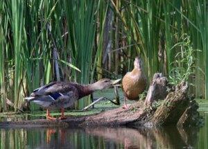 Mallards at the Horicon Marsh