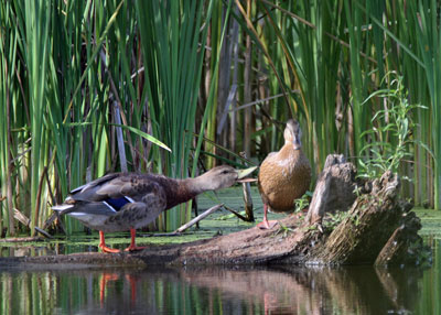 Mallards at the Horicon Marsh