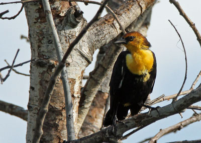 Yellow-headed Blackbird at the Horicon Marsh