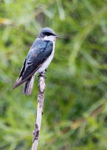 Tree Swallow at the Horicon Marsh