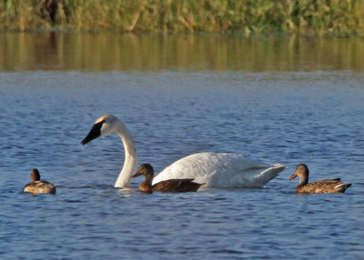 Trumpeter Swan with Duck Friends at the Horicon Marsh