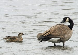 Green-winged Teal and Canada Goose at the Horicon Marsh