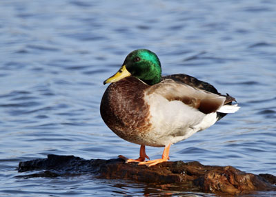 Mallard at the Horicon Marsh
