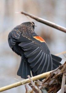 Immature Male Red-winged Blackbird