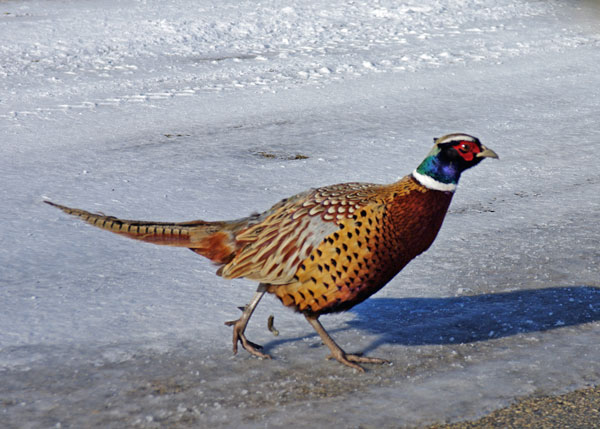 Ring-necked Pheasant at the Horicon Marsh