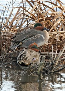 Green-winged Teal at the Horicon Marsh