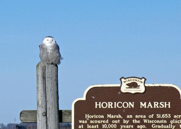 Snowy Owl at the Horicon Marsh