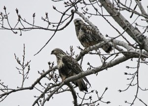 Rough-legged Hawks at the Horicon Marsh