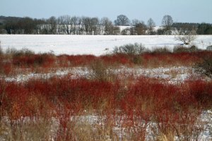 Red Twig Dogwood at the Horicon Marsh
