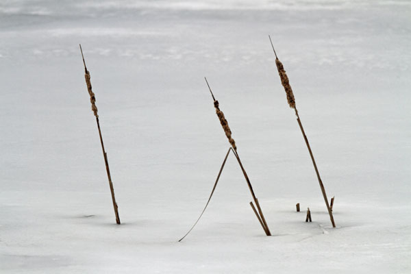 Cattails at the Horicon Marsh