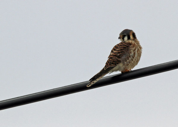 American Kestrel at the Horicon Marsh