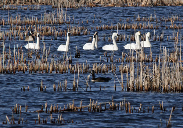 Tundra Swans at the Horicon Marsh