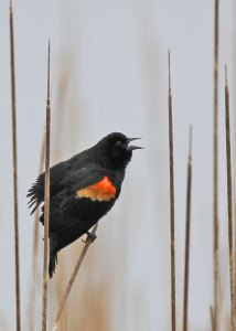 Red-winged Blackbird at the Horicon Marsh