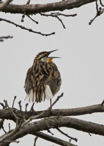 Meadowlark at the Horicon Marsh
