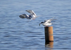 Forster's Terns at the Horicon Marsh