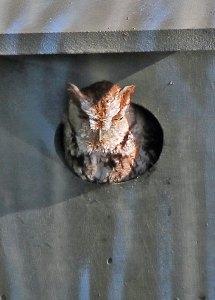 Eastern Screech-Owl at the Horicon Marsh