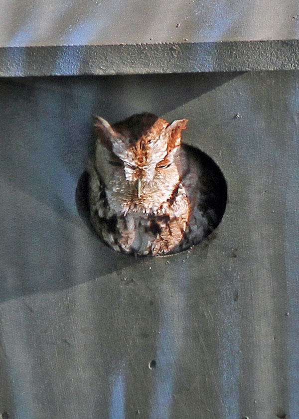 Eastern Screech-Owl at the Horicon Marsh