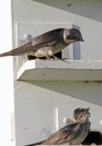 Female Purple Martins at the Horicon Marsh