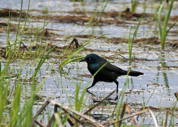 Common Grackle at the Horicon Marsh