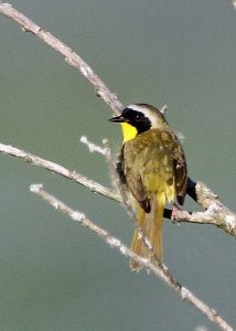 Common Yellowthroat at the Horicon Marsh